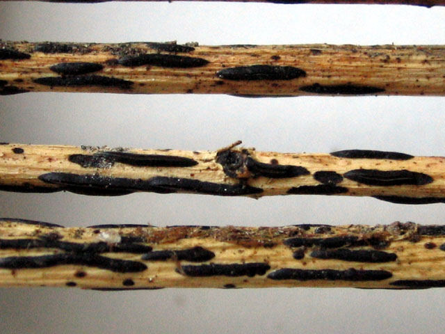 Hypodema sp. no.3