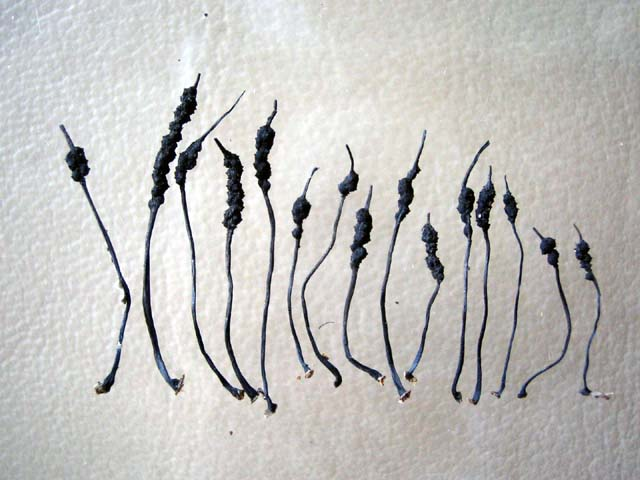 Xylaria sp. no.2