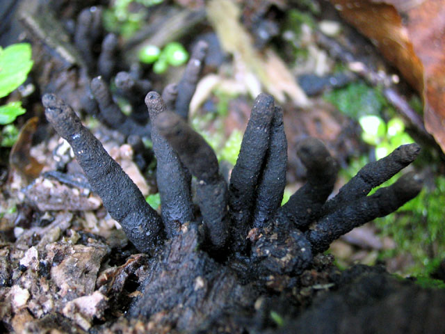 Xylaria sp. no.6
